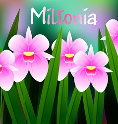 Beautiful Flower of Orchid Miltonia with Green vector image