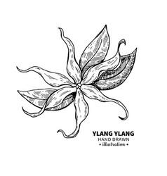 Ylang ylang drawing isolated vintage vector