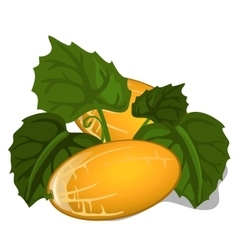 Big ripe juicy yellow melon with leaves vector