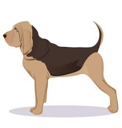 Bloodhound dog vector