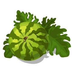 Big ripe juicy watermelon with leaves vector