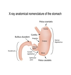 X-ray range of the stomach on vector