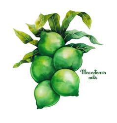 watercolor macadamia nuts vector image