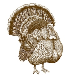 engraving turkey vector image