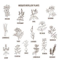 best mosquito repellent plants vector image vector image