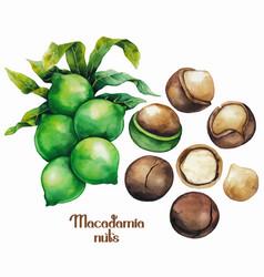 watercolor macadamia nuts vector image vector image