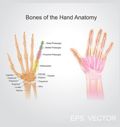 Bone of the hand anatomy vector