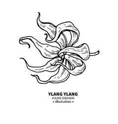 ylang ylang drawing isolated vintage vector image