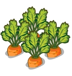 Cultivate tasty carrot vegetable isolated vector