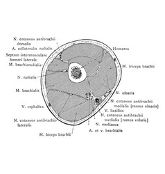 cross section through middle thirds of the upper vector image vector image