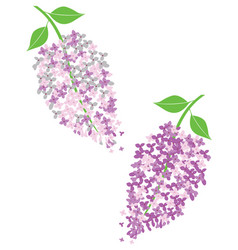 Lilac flowers vector