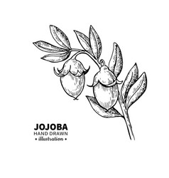 jojoba drawing isolated vintage vector image vector image
