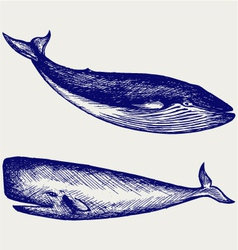 The humpback whale vector