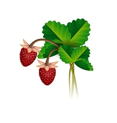 Wild strawberry berries and leafs vector image