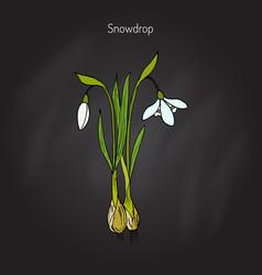 Snowdrop spring flower vector