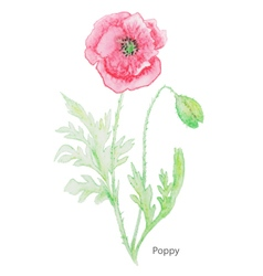 Poppy water color vector