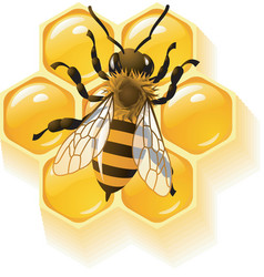 Bee and honeycombs vector
