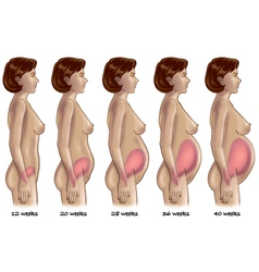 Five stages of pregnancy vector image vector image
