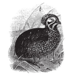 Massena partridge vintage vector
