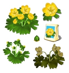 Seeds in bag and growth stages of yellow flowers vector