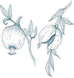 Hand drawn pomegranate fruit vector