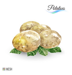 Watercolor potato on white background cute is vector