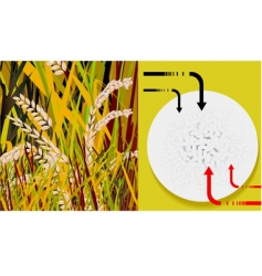grains vector image