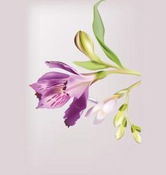 Lilly flowers blossom spring delicate flower vector