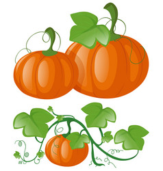 Pumpkins on green vine vector