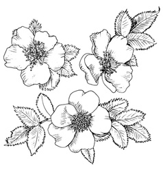 Dogrose hand drawn flowers vector