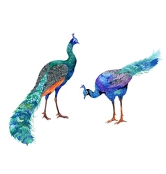 watercolor drawing peacocks vector image