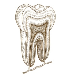 Engraving tooth structure vector