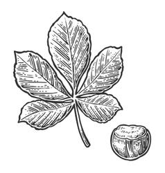 Chestnut leaf and nut vintage engraved vector image vector image