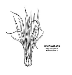 lemongrass drawing isolated vintage vector image vector image