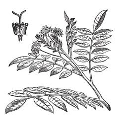 Quassia vintage engraving vector image vector image