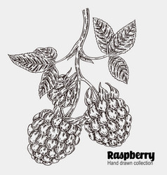Sketchy raspberry branch hand drawn berries vector