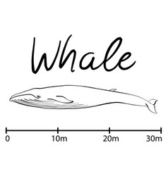 Silhouette of whaleblue whale isolated black and vector