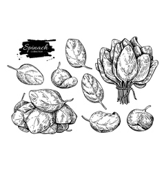 Spinach leaves hand drawn set isolated vector