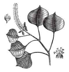 Chinese tallow tree engraving vector image