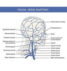 Human facial vein in vector