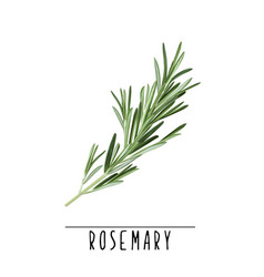 rosemary herb and spice vector image