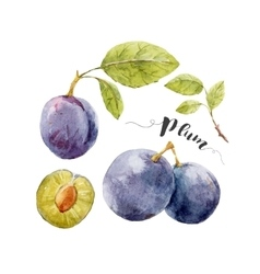 Watercolor hand drawn plum vector