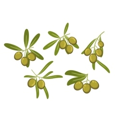 Olive tree branches with green fruits and leaves vector