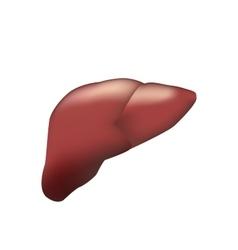 Realistic human liver medical vector image