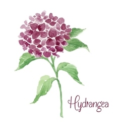 Branch of burgundy hydrangea vector
