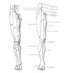 Cutaneous nerves on the front of the legs vintage vector