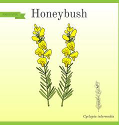 Honeybush cyclopia intermedia or heuningbos tea vector