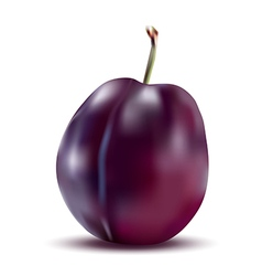 Realistic plum with stem vector image