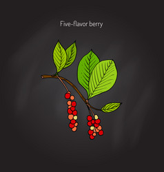 Branch with berries of chinese schisandra vector