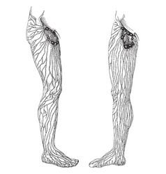 Superficial lymphatics and vessels and nodes of vector